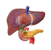 Human Liver system cutaway — Stock Photo