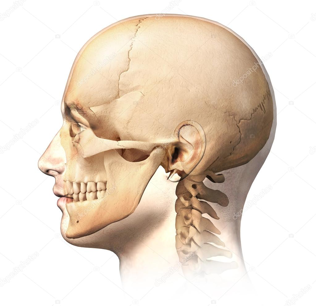 Skeleton profile view
