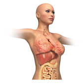Woman body trunk, with interior organs superimposed. — Stock Photo