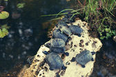 Family of small turtles in the city pond — Stock Photo