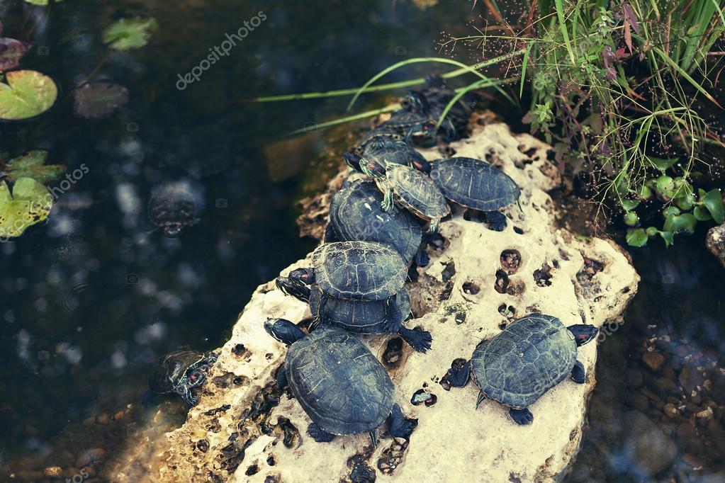 Famiglia delle piccole tartarughe nello stagno citt for Stagno per tartarughe