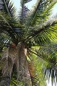Coconut tree — Stockfoto