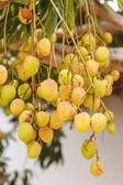 Frutti di litchi sull'albero — Foto Stock