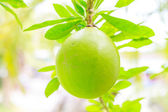 Närbild calabbash träd — Stockfoto