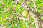 Calabbash on top of tree — Stock Photo
