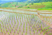Grow rice on top of mountain at chiangmai thailand — Foto de Stock