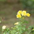 Yellow rose with leaf green — Stock Photo #42478211