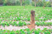 Strawberry growing on row — Stock Photo
