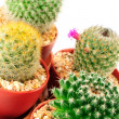 Cactuses on white background  — Foto de Stock
