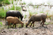 Buffaloes in a field — Stock Photo