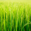 Paddy field with ray of lights — Stock Photo