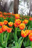 Krásný jarní tulipán květy. — Stock fotografie