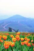 Beautiful spring tulip flowers. — Stock Photo
