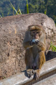 Monkey, Sri Lanka — Foto Stock
