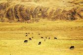 Cattle in Cordiliera Huayhuash — Stok fotoğraf