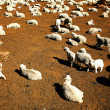 Sheep in Peru,South America - Stock Photo