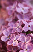 Syringa vulgaris - Lilac - flower — Stock Photo