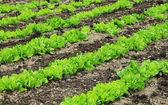 Salad rows in the garden — Stock Photo