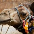 Camel in Thar Desert, India — Stock Photo