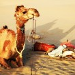 Camel in Thar Desert, India — Stock Photo #25841611