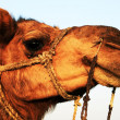 Camel in Thar Desert, India — Stock Photo #25841635