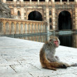 Monkey temple Galwar Bagh in Jaipur, India — Stock Photo
