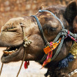 Stock Photo: Adorned camel in Thar Desert, India
