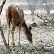 Stock Photo: Axis deer (Axis axis) in Ranthambore National Park, India, Asia