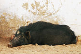 Wild pig on street, India — Stock Photo