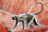 Monkey at the Jaigarh Fort, Rajasthan, India — Stock Photo