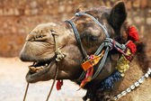 Adorned camel in Thar Desert, India — Stock Photo