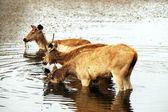 Ranthambore National Park, India, Asia — Stock Photo