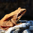 Frog sitting on a rock - Lizenzfreies Foto