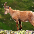Ibex in Aiguilles Rouges Reservation, France — Stock Photo