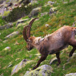 Feeding ibex — Stock Photo