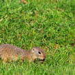 Gopher in the field - Stock Photo