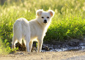 Small dog in a field — Stock Photo