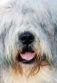 Shaggy dog — Stock Photo