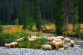 Sheep crossing a mountain river — Stock Photo
