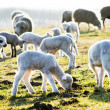 Lambs on a meadow — Stock Photo #25882061