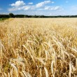 Royalty-Free Stock Photo: Golden field