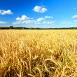 Golden field — Stock Photo #25882433