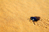 Scarab in Sahara Desert, Africa — Stock Photo