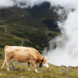 Cow feeding under Eiger Peak, Switzerland — Stock Photo