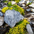Mountain flowers in Berner Oberland, Switzerland — Stock Photo