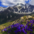 Mountain flowers in Caucasus Mountains — Stock Photo