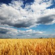 Golden wheat field  — Stockfoto