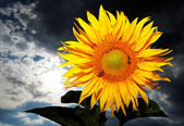 Sunflower against a stormy sky — Stock Photo