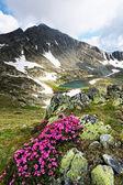 Mountain flowers in National Park Retezat, Romania — Stock Photo