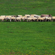 Sheep on a meadow — Stock Photo #26100261